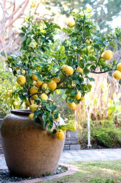 Container Gardening   How to grow lemon fruit trees in containers How To Grow Lemon Tree in Pot   photo copyright to  whiteonrice