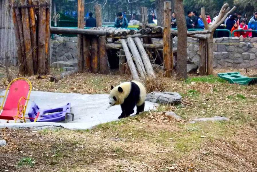 How to Visit the Giant Pandas When You Are Only Going to Beijing A Giant Panda at the Beijing Zoo   How to Visit the Giant Pandas in Beijing