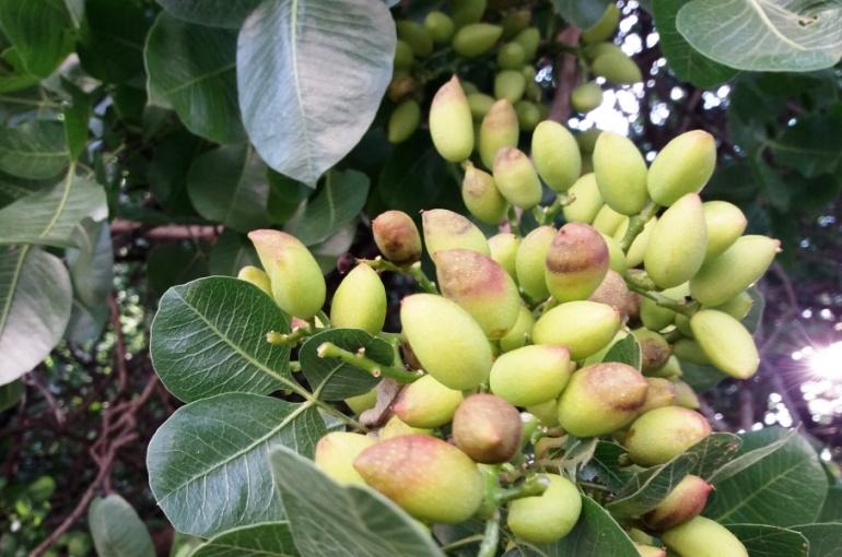 Chinese Pistachio Tree Diseases