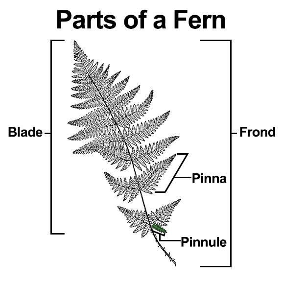 Where Wild Fern Grows