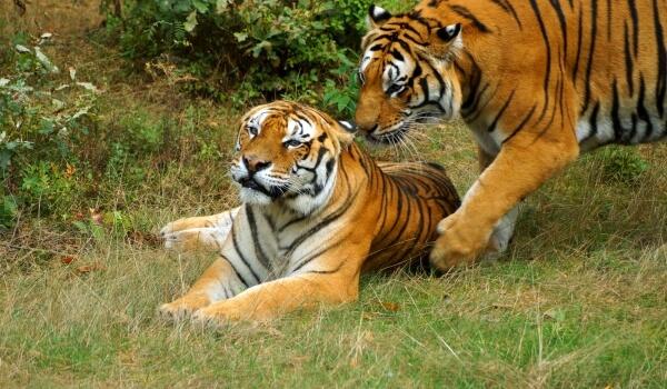 Naast dure en gewilde trofeeën werden Amur Tigers neergeschoten om therapeutische middelen te vervaardigen. Veel grootschalige derivaten werden gebruikt in de traditionele oosterse geneeskunde.