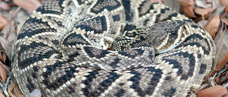 Diamondback Rattlers Choose their Own Poison | THE ...
