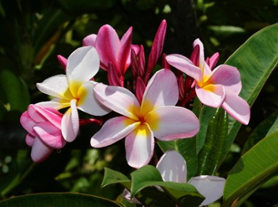Hawaiian Plants and Tropical Flowers   A guide to the tropical     Hawaiian Tropical Flowers