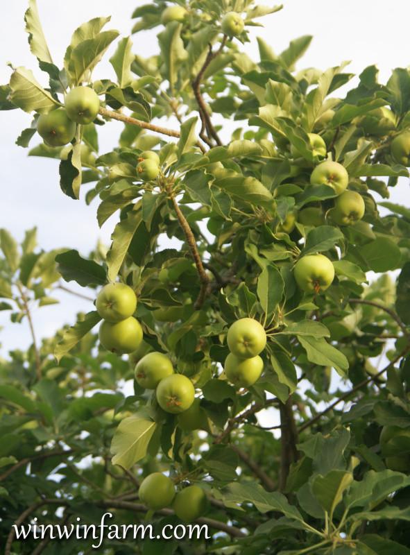 Lemon Tree Varieties