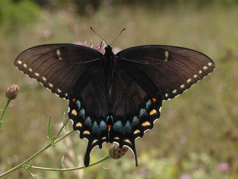 Eastern Tiger Swallowtail — wisconsinbutterflies.org