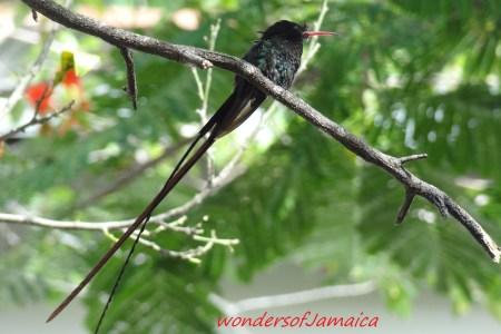 Jamaica National Bird And Flower Flowers Online 2018 Flowers Online