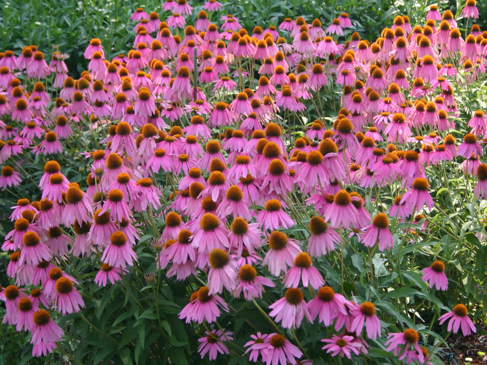 Family Name Purpurea Echinacea