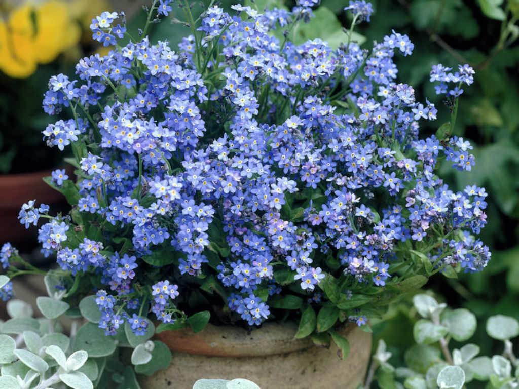 How to Grow and Care for a Forget Me Not Plant  Myosotis sylvatica     How to Grow and Care for a Forget Me Not Plant  Myosotis sylvatica    World  of Flowering Plants