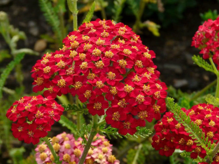 Achillea Millefolium Paprika Paprika Yarrow World Of