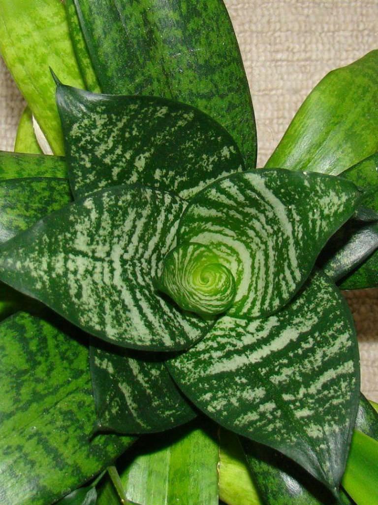 Sansevieria Trifasciata Hahnii World Of Succulents