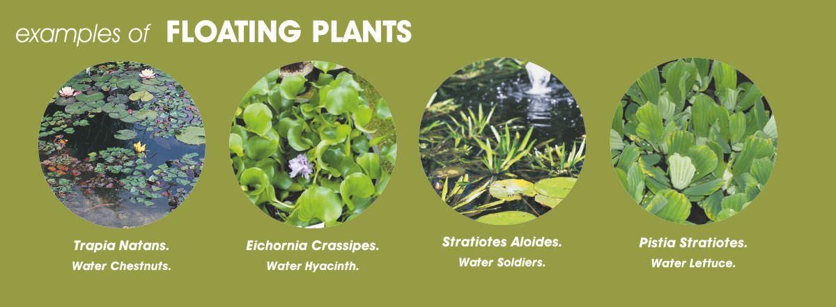 Native Pond Plants Uk