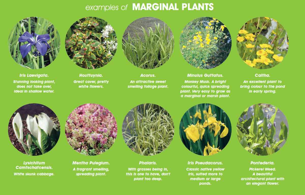 Marginal Pond Plants Sale