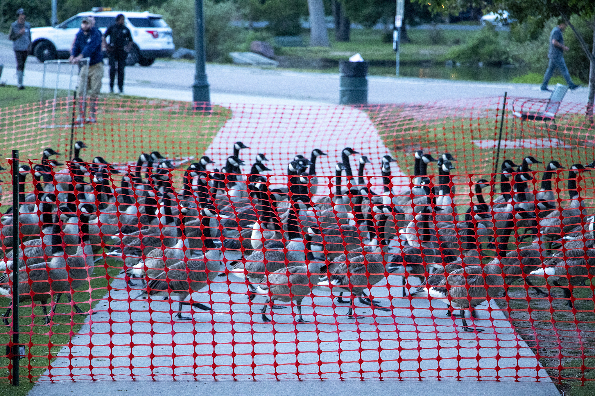 Wildlife authorities kill over 100 geese at Sloan's Lake as culling enters its second year in Denver