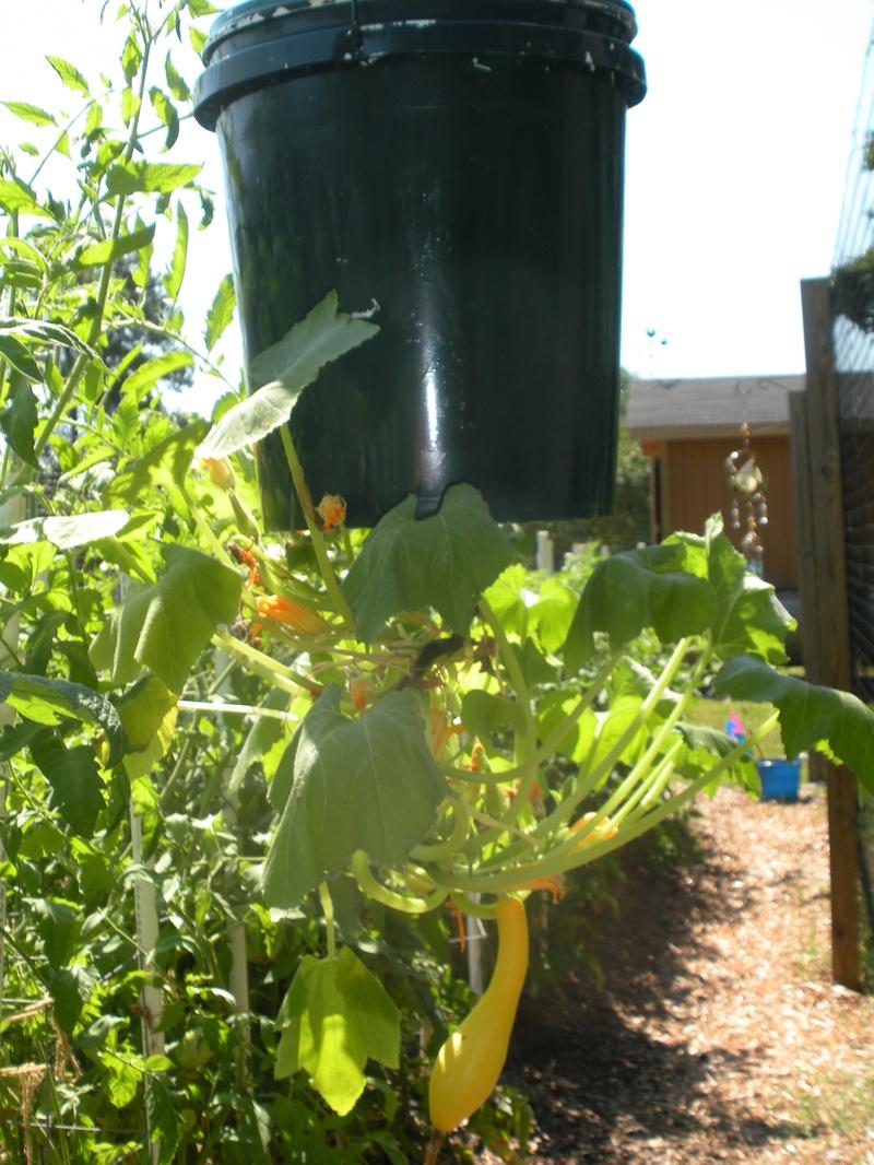 Yellow Squash Down Upside Growing