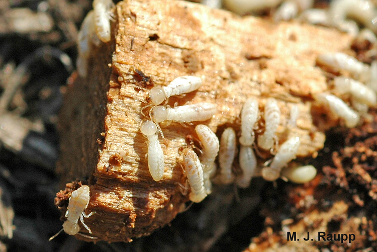 What Are Termites Winged