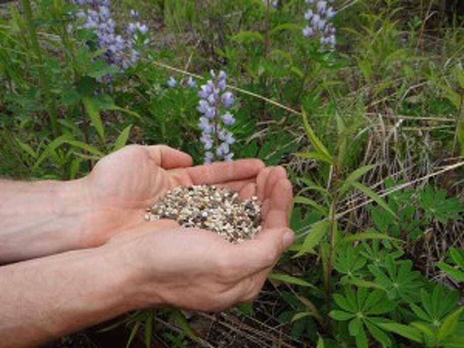 Karner Blue Butterfly Lupine Seed