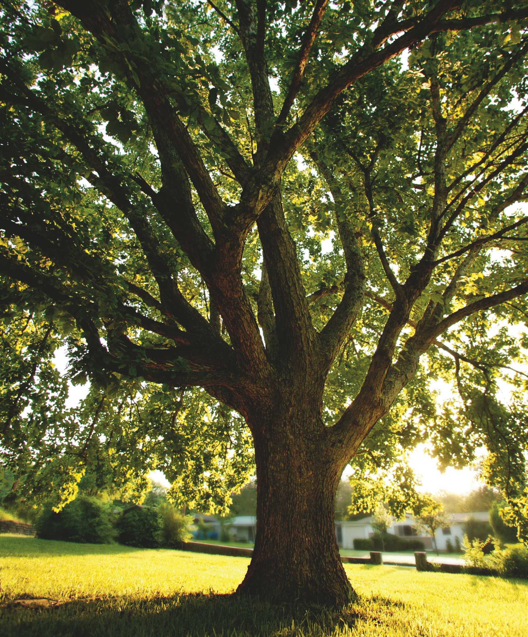 Cut Energy Costs With Shade Trees San Antonio Express News