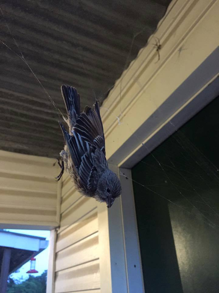 Photos Giant Spider S Web Catches Bird At Texas State