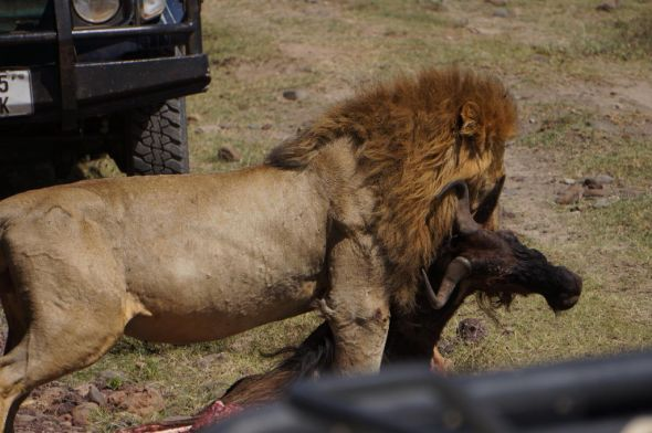 man eaten by lion - 590×392