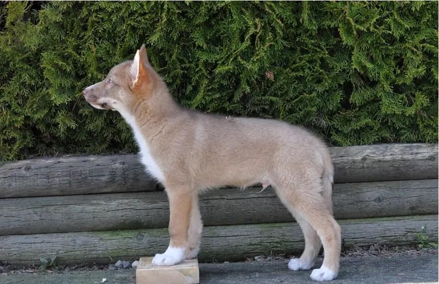 German Shepherd Newborn Puppies