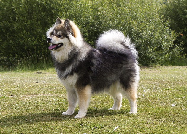 Finnish Lapphund Info, Temperament, Puppies, Pictures