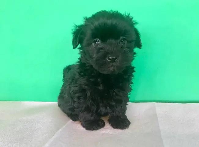 Maltipoo Maltese X Poodle Info Temperament Lifespan