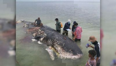 GRAPHIC: Dead whale found with 13 pounds of plastic in its ...