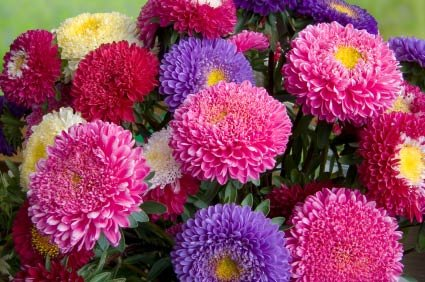 Birth Month Flower of September   The Aster Aster Flower