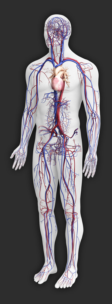 Lady Gaga: circulatory system diagram without labels