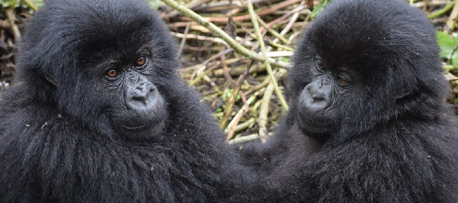 4-Essentials-For-Gorilla-Trekking-In-Bwindi-Impenetrable-National-Park