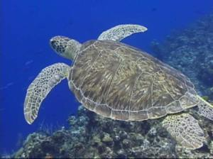 Images Long Head Sea Turtles