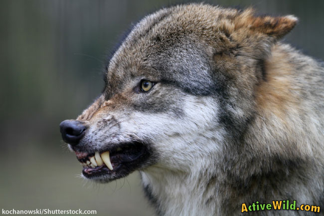 Wolf Growling Side View