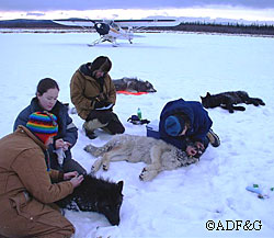 Helping Wolves in Interior Alaska  Alaska Department of Fish and Game caption follows