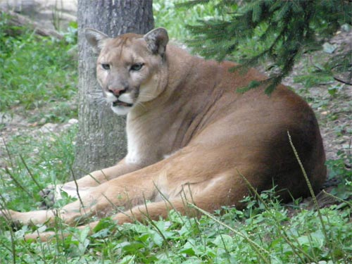 Facts About Cougars In The Adirondacks