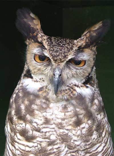 Gilbert Adopt An Owl