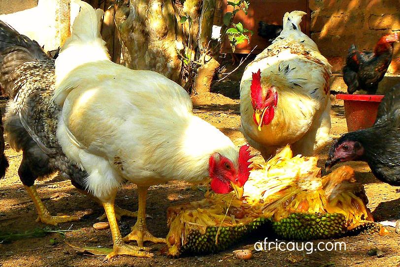 Chickens Range Broiler Free