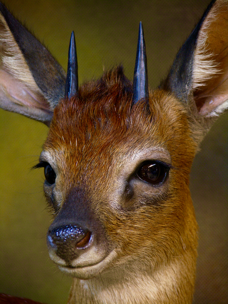 Another Tiny Ten Full Mount Taxidermy Quot The Cape Grysbok