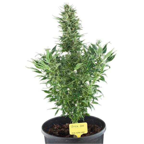 Royal Queen Seeds Northern Lights Auto