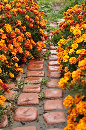 Marigold Flowers Are True Annuals  Golden Balls Of Sunshine  A Path Through The Golden Marigolds