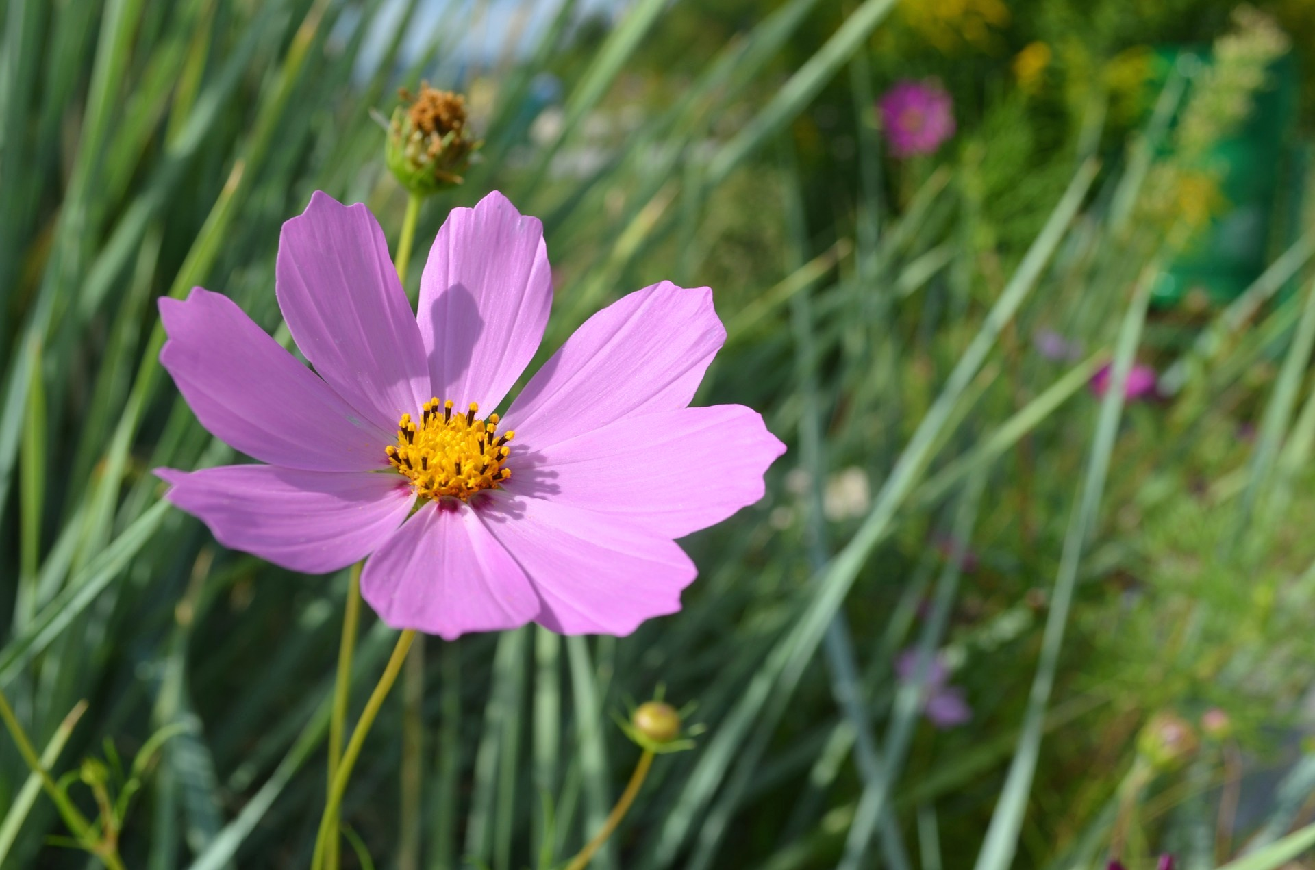 Cosmos  How to Plant  Grow  and Care for Cosmos Flowers   The Old     Cosmos  How to Plant  Grow  and Care for Cosmos Flowers   The Old Farmer s  Almanac