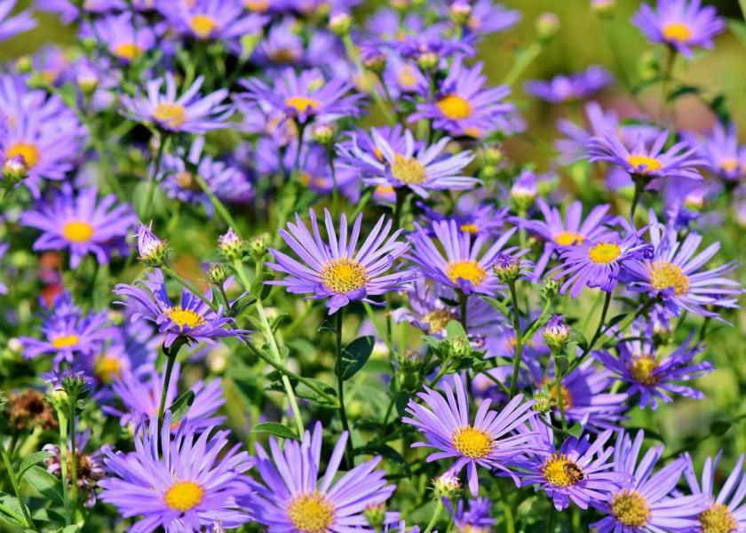 Asters  How to Plant  Grow  and Care for Aster Flowers   The Old     Aster Flowers