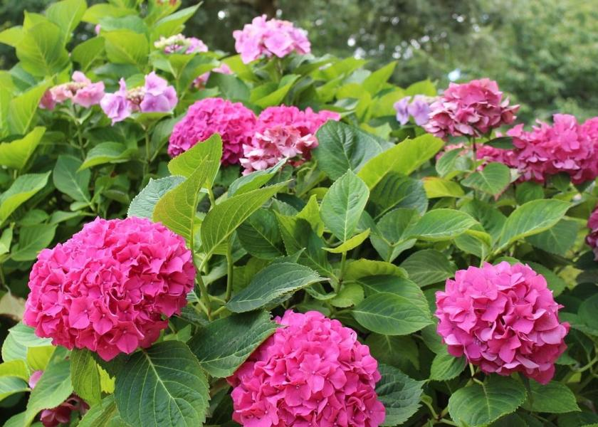 Hydrangeas  How to Plant  Grow  and Prune Hydrangea Shrubs   The Old     How to Plant  Grow  and Prune Hydrangeas