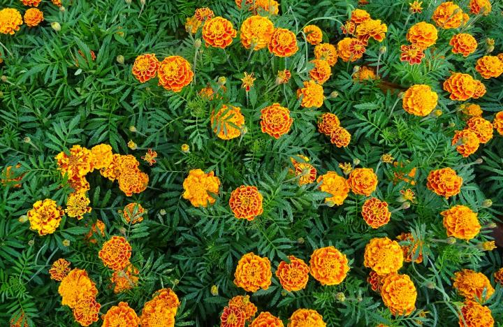 Marigolds  How to Plant and Grow Marigold Flowers   The Old Farmer s     French Marigolds