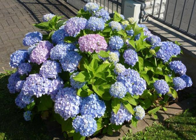Hydrangeas  How to Plant  Grow  and Prune Hydrangea Shrubs   The Old     How to Use Hydrangeas in a Bouquet