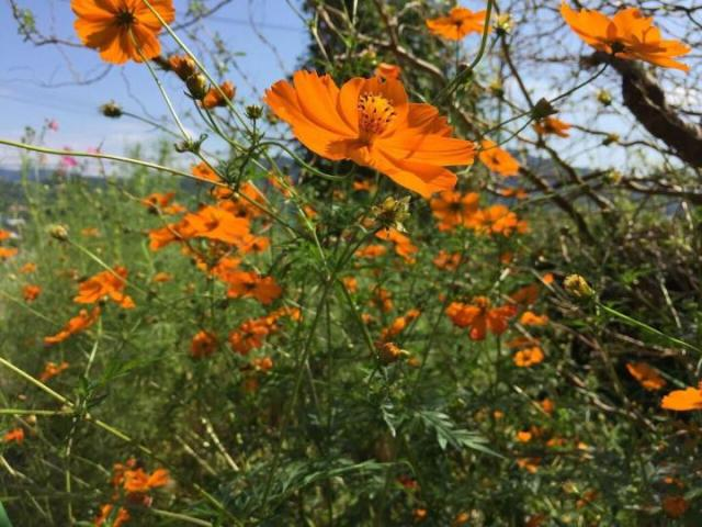 Cosmos  How to Plant  Grow  and Care for Cosmos Flowers   The Old     orange cosmos field jpg