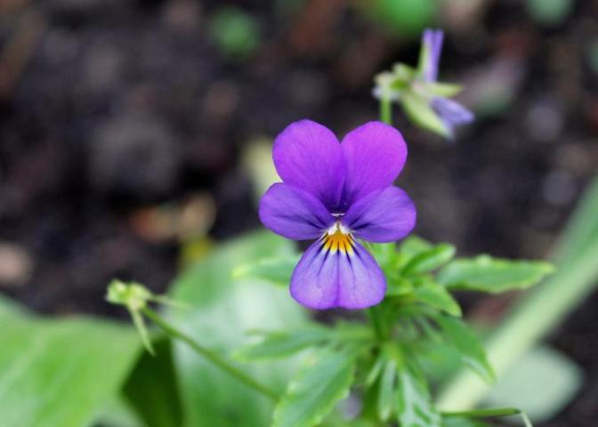 February Birth Flowers and Their Meanings   The Old Farmer s Almanac Violet flower