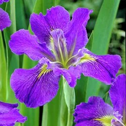 All About Irises Louisiana Iris