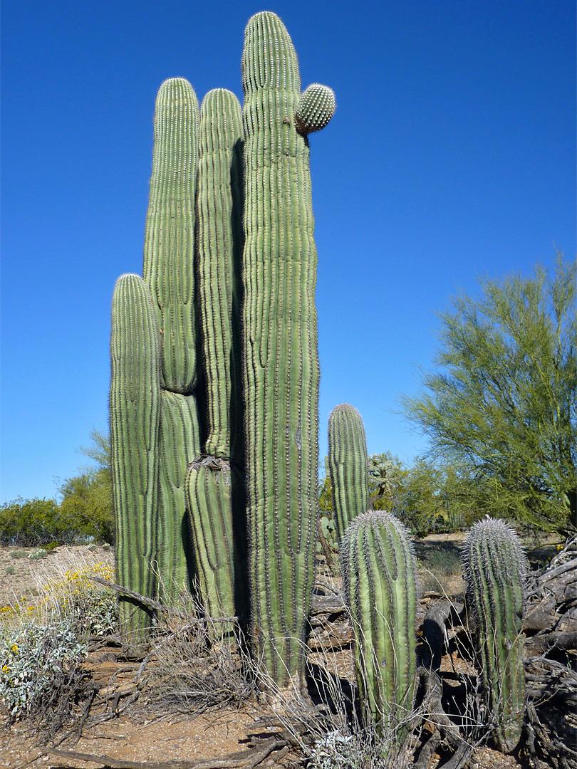 Saguaro Cluster Mica View Trail Saguaro National Park Arizona