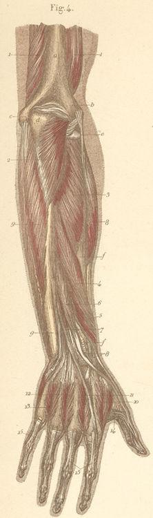 Flexor Indicis Proprius