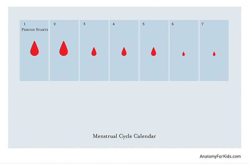 counting menstrual cycle calendar - 800×527